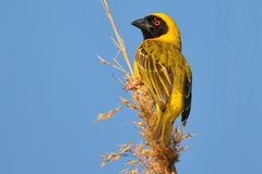 Male masked weaver in its environment. Photo taken in Addo elephant national park,South Africa Stock Photo