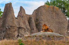 Male mature lion. Resting on a hill Stock Photos