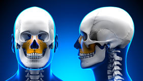 Male Maxilla Bone Skull Anatomy - blue concept Royalty Free Stock Images