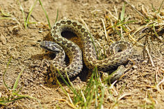 Male meadow adder in natural habitat. Male meadow adder basking in natural habitat  Vipera ursinii rakosiensis Stock Images