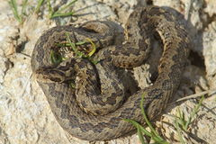 Male meadow adder in natural habitat. ( Vipera ursinii rakosiensis Royalty Free Stock Photos