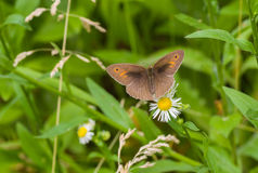 Male of meadow brown butterfly sitting on a camomile flower Royalty Free Stock Images
