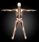 Male medical skeleton Stock Photo