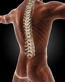 Male medical skeleton. 3D render of a male medical skeleton with a close up on the back Stock Photo