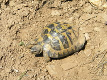 Testudo graeca graeca Royalty Free Stock Photography