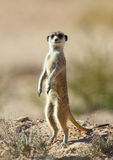 Male Meerkat or Suricate standing guard Royalty Free Stock Photography