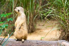 A Meerkat standing on a branch guarding its territory. Male meerkats are responsible for sentry duty, taking turns to keep watch while the others forage. a Stock Photos