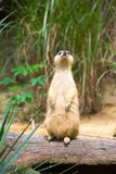 A Meerkat standing on a branch guarding its territory. Male meerkats are responsible for sentry duty, taking turns to keep watch while the others forage. a Royalty Free Stock Photo