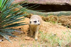 A Meerkat looking for something to eat Royalty Free Stock Photography