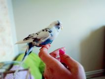 Male melopsittacus undulatus on a hand stock image