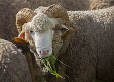 Male merino sheep eating ruzi grass in rural ranch farm. Male merino sheep   eating ruzi grass in rural ranch farm Royalty Free Stock Photos