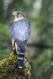 Male Merlin. A Male Merlin standing on a tree stump Royalty Free Stock Photo