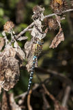 Male Migrant Hawker Royalty Free Stock Photo