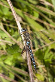 Male Migrant Hawker Stock Image