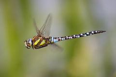 Male Migrant Hawker (Aeshna mixta) Stock Images