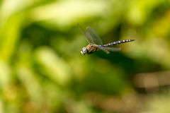 Male migrant hawker dragonfly hovering straight winged Royalty Free Stock Photography