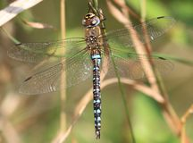 Close up of a dragonfly Royalty Free Stock Photography