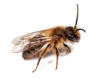Male Mining Bee Stock Photo