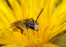 Male Mining Bee Royalty Free Stock Photos