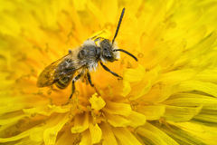 Male Mining Bee Royalty Free Stock Photography