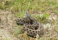Male Moldavian Steppe Viper Royalty Free Stock Photography