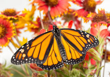 Male Monarch on bright red flowers Stock Photos