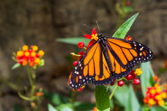 A male Monarch Butterfly Royalty Free Stock Photos