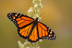 Male Monarch butterfly in summer garden. Feeding on a Buddleia flower Stock Photography