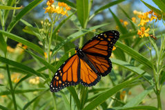 Male monarch butterfly. With wings spread, on yellow tropical milkweed plants Stock Photography