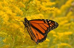 Male monarch on goldenrod Sheldon Lookout Humber Bay Shores Park Stock Photos