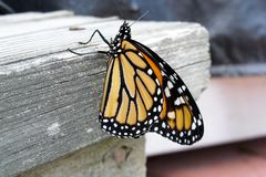 Male monarch Royalty Free Stock Photos