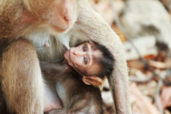 Breast-feed a little monkey Royalty Free Stock Images