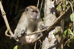 Male Monkey Stock Photography