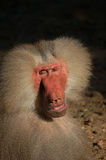 Male monkey almost human. Male baboon monkey looking almost human, is relaxing in the afternoon sunshine royalty free stock photography
