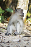 Male Monkey Royalty Free Stock Photo