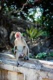 The male monkeys were open mouth. Monkey on tree ,cute animal,asia wild.Sleepy Monkey,The male monkeys were open mouth.Macaque monkey in Monkey Forest royalty free stock images