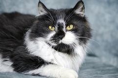 Fluffy white and black medium hair kitten. Male 5 month old black and white fluffy medium hair kitten. Animal adoption photography for Walton County Animal royalty free stock photos