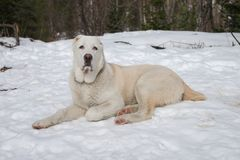 A white dog in the snow and looking directly at the background of the winter forest. Male 7 months old. Alabai is a Central Asian and Turkmen Shepherd Stock Photo