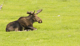 Male moose Stock Photography