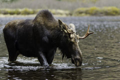 Male moose. Beautiful male moose in the water. Wildlife from Quebec Canada Stock Photo