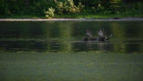 Male moose antlers peek above water