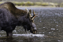 Male moose drinking Stock Image