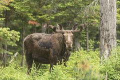 Male moose in a forest setting Royalty Free Stock Photography
