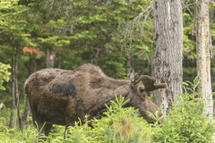 Male moose in a forest setting Royalty Free Stock Photo