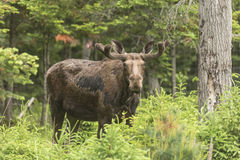 Male moose in a forest setting Stock Images