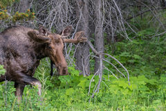 Male Moose Looks at Camera at it Exits Forest Stock Images