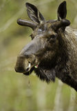 Male moose portrtait royalty free stock images