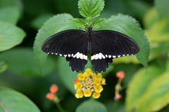 A male mormon butterfly Stock Photography