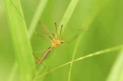 Male mosquito. On green background Stock Image
