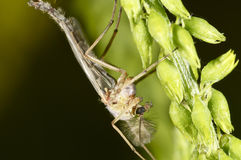 Male mosquito on a green plant Stock Photos